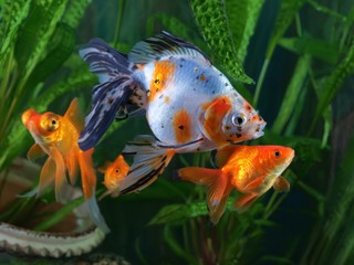 Goldfish, aquarium, a group of fish