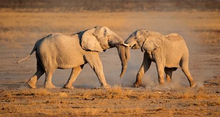 African elephants fighting, Etosha National Park