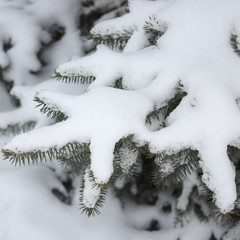 Nature Photos : Winter Tree : Snowy branches - Stock photos