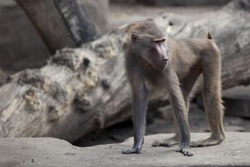 monkey in zoo in Poland