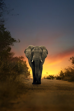 african elephant walking in sunset