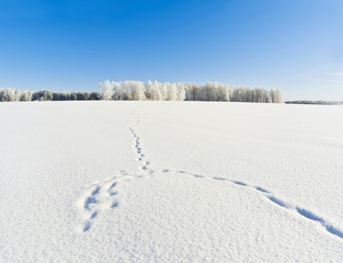 Fototapete - Fox trails on snowy field