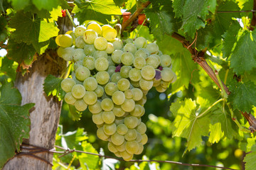 Healthy ripe sweet and juicy white grapes