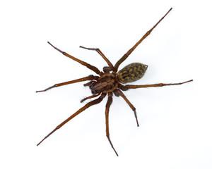 Tegenaria spider on white