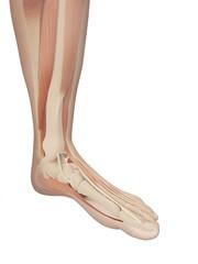 muscular foot anatomy