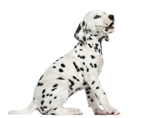 Side view of a Dalmatian puppy barking, sitting, isolated