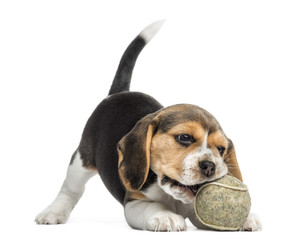 Front view of a Beagle puppy playing with a tennis ball