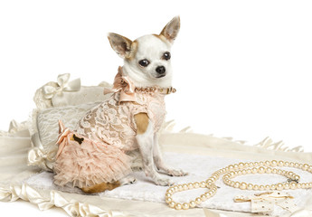 Dressed-up Chihuahua sitting, looking at the camera, isolated