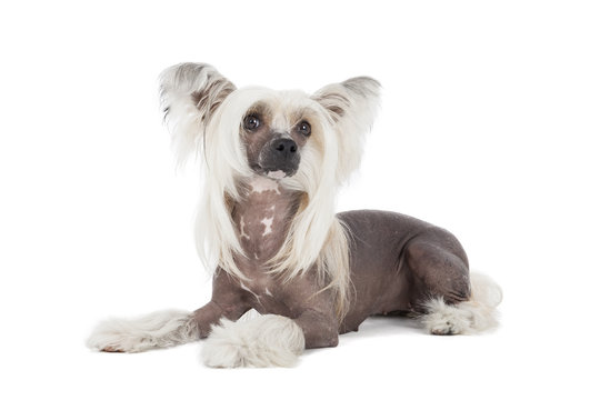 Chinese crested dog isolated with a white background in studio