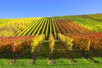 Weinreben und buntes, herbstliches Laub im Weinberg