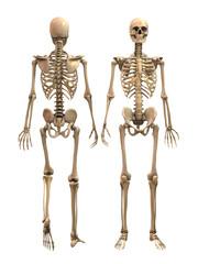 Mann Anatomy Skeleton