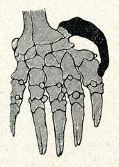 Mole's polydactyl forepaw