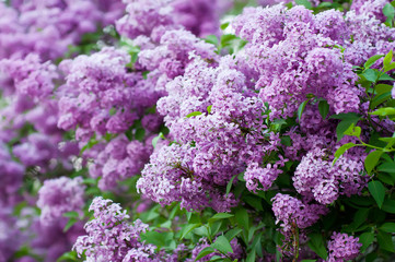 Spoed Foto op Canvas Lilac Branch of lilac flowers