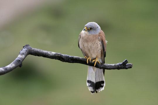 Lesser kestrel, Falco naumanni,