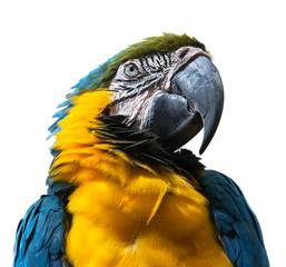Portrait of Blue-and-yellow Macaw