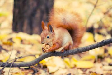 Wall Mural - Squirrel in autumn park