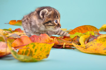 small 20 days old  kitten in autumn leaves