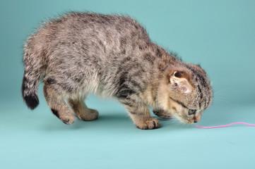cute Scottish fold kitten