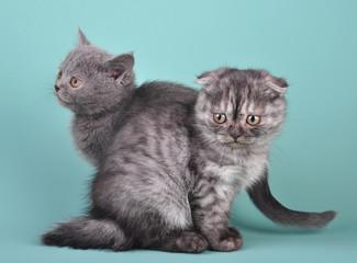 Scottish straight and fold kittens