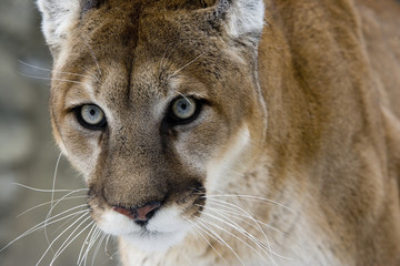 Photo sur Aluminium Puma Puma or Mountain lion, Puma concolor