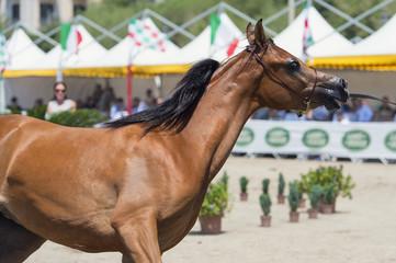 spettacolo di cavalli arabi ed egiziani a Salerno
