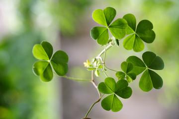 Shamrock - Three leaf clovers
