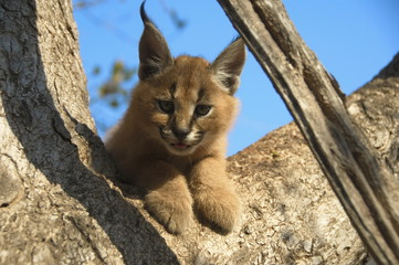 Portrait of a baby Caracal