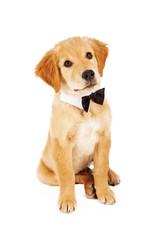 Golden Retriever Puppy Wearing Bow Tie