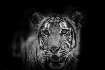 The side face portrait of tiger for background use