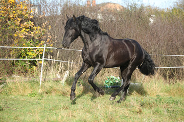 Fototapete - Nice andalusian stallion running on pasturage