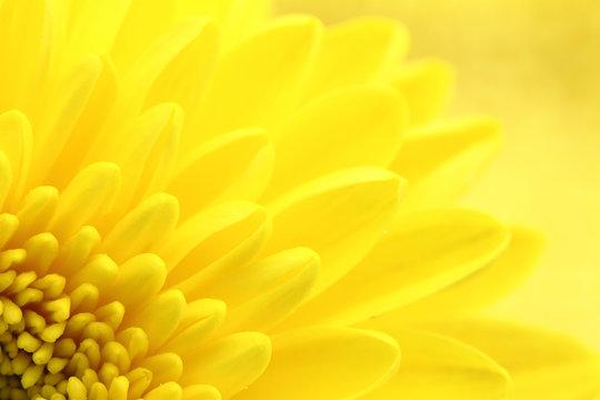 Yellow chrysanthemum petals macro shot