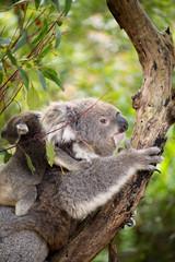 Mother koala with baby