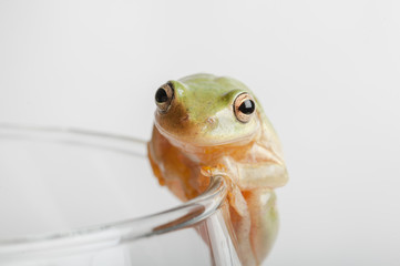 tree frog on rim of glass
