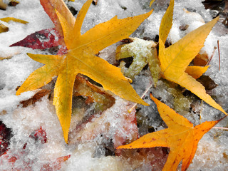 Wall Mural - Abstract background of autumn leaves. The first snow.