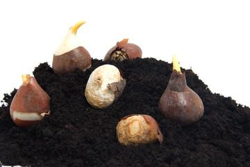 Pile of black garden soil and flower bulbs over white background