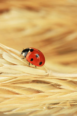 Wall Mural - Beautiful ladybird on  wheat ear, close up