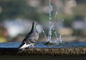 Fontaine aux pigeons