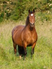 Bay Pony in Paddock