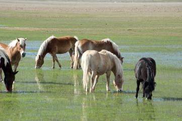 Horses in Castelluccio di Norcia plateau