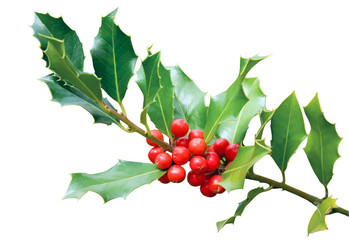 Holly tree branch isolated on white