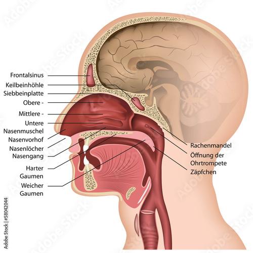 Anatomie der Nase mit Beschreibung, deutsch\