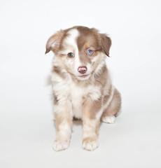 Sweet Aussie Puppy