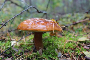 Beautiful mushroom of Boletus badius