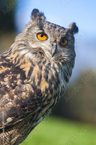 Wall mural European Eagle Owl