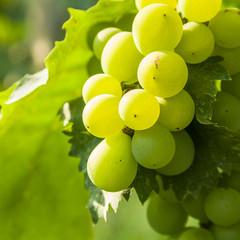 closeup of green grapes in a vineyard