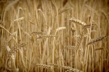 Beautiful field of rye.