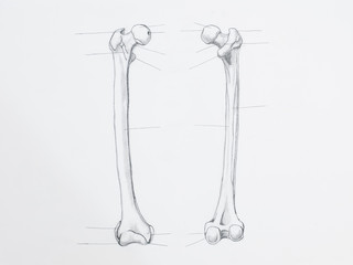Detail of femur bone pencil drawing on white paper
