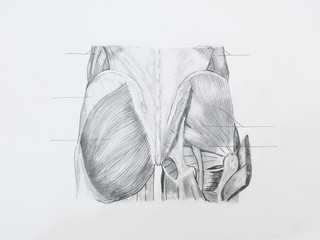 Detail of buttocks muscles pencil drawing on white paper