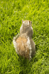 London squirrel 2