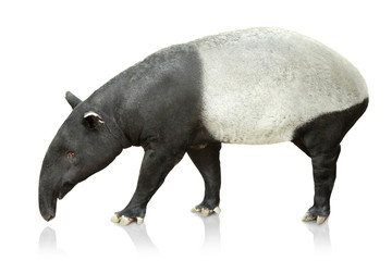 Portrait of tapir on white background